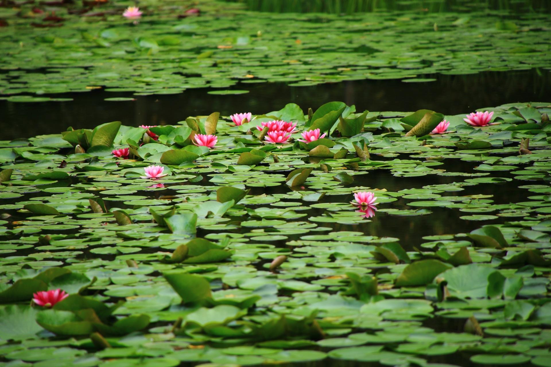 緑と鮮やかなピンクの睡蓮に染まる平安神宮の水面