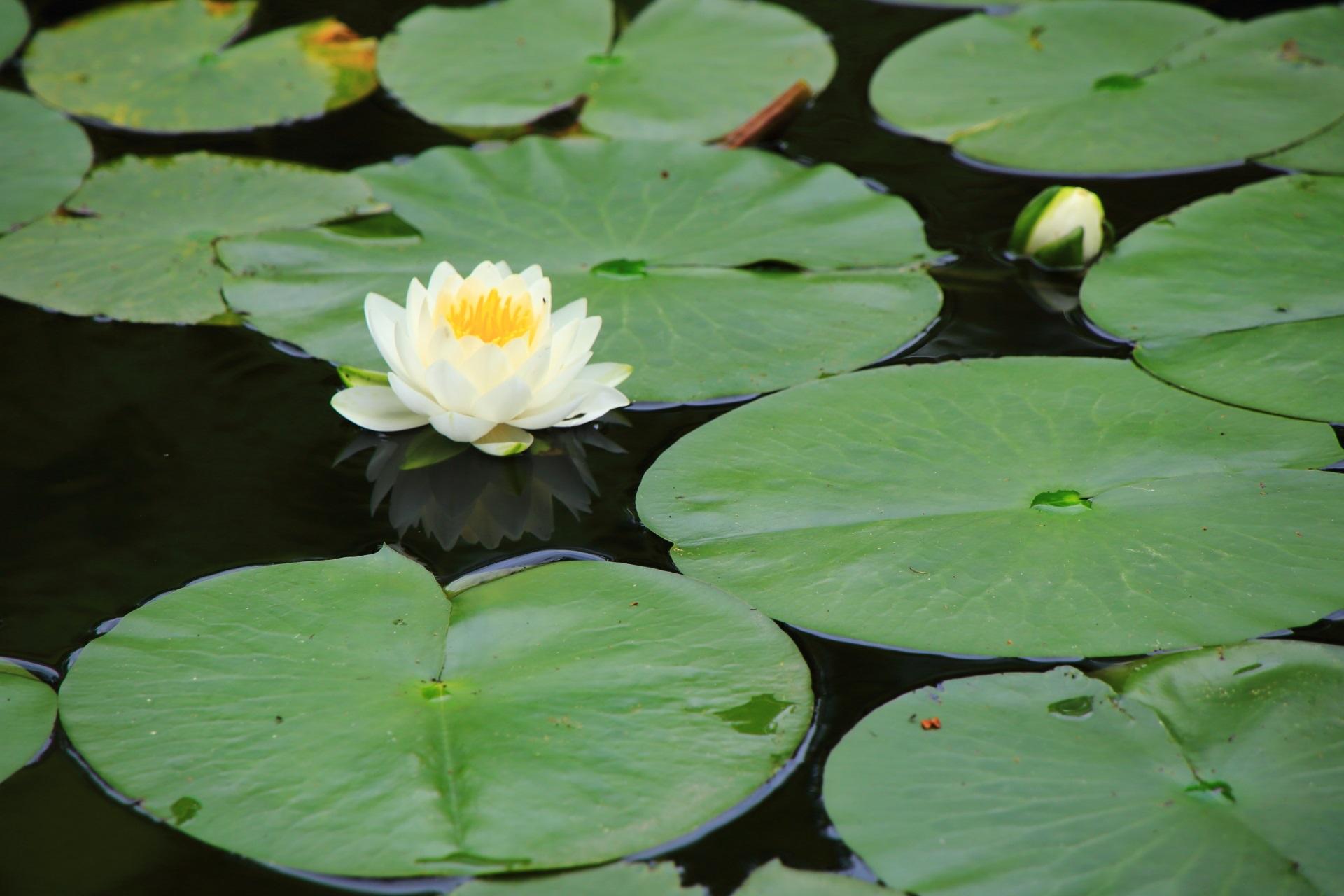 平安神宮の上品で華やかな白い睡蓮