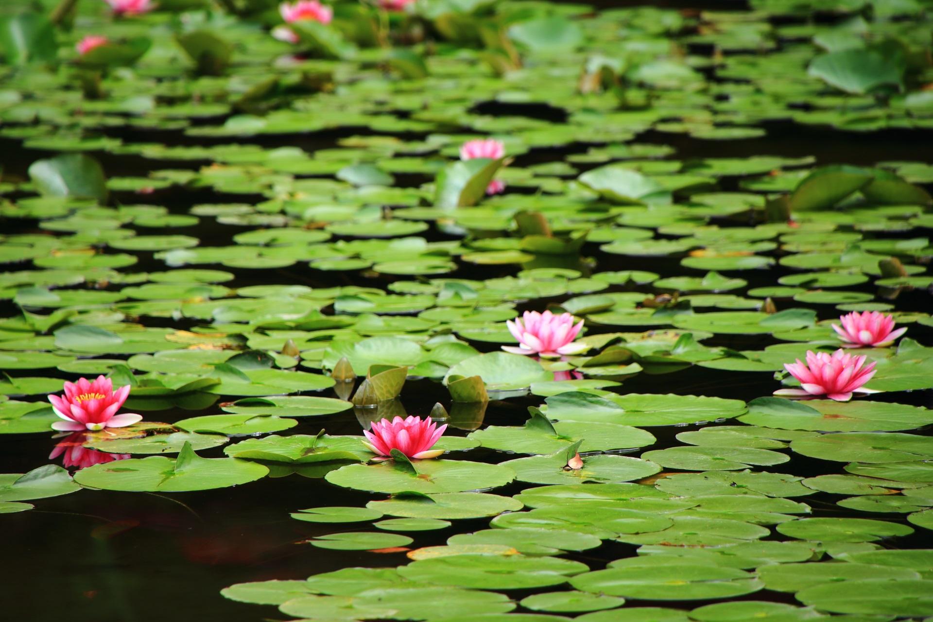 丸く淡い緑の葉の上で咲くピンクの睡蓮