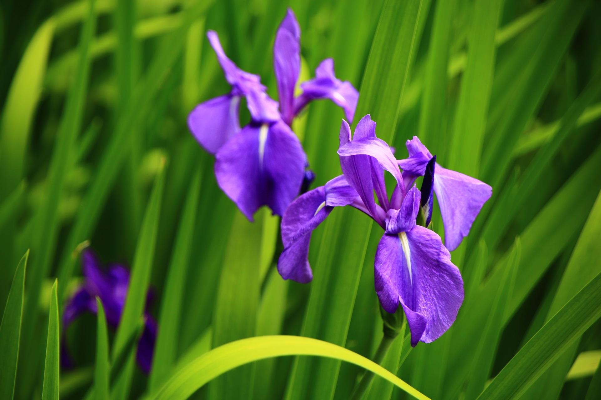 鮮やかとも華やかとも言える美しい紫色のカキツバタ