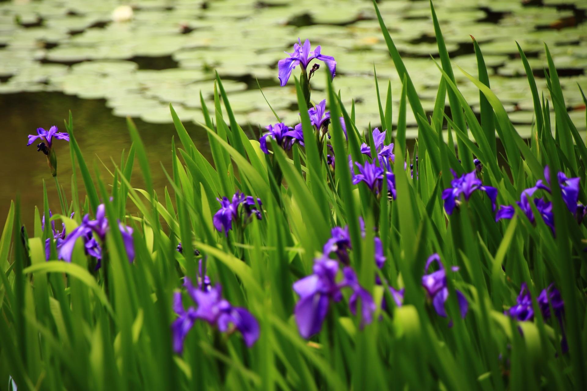 緑の中で優雅に揺らぐ紫の杜若