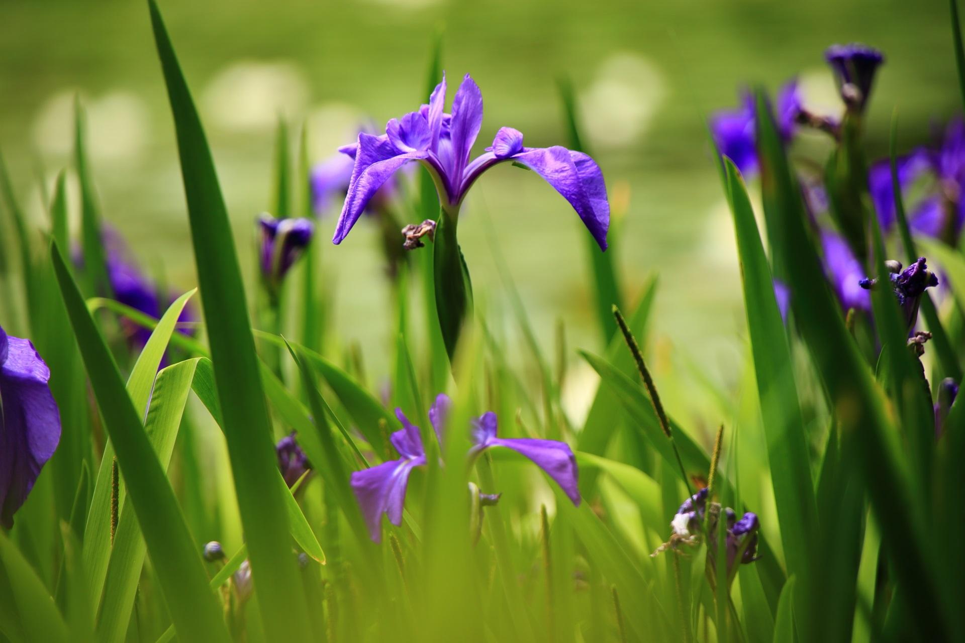 春の水辺で優雅に咲く杜若