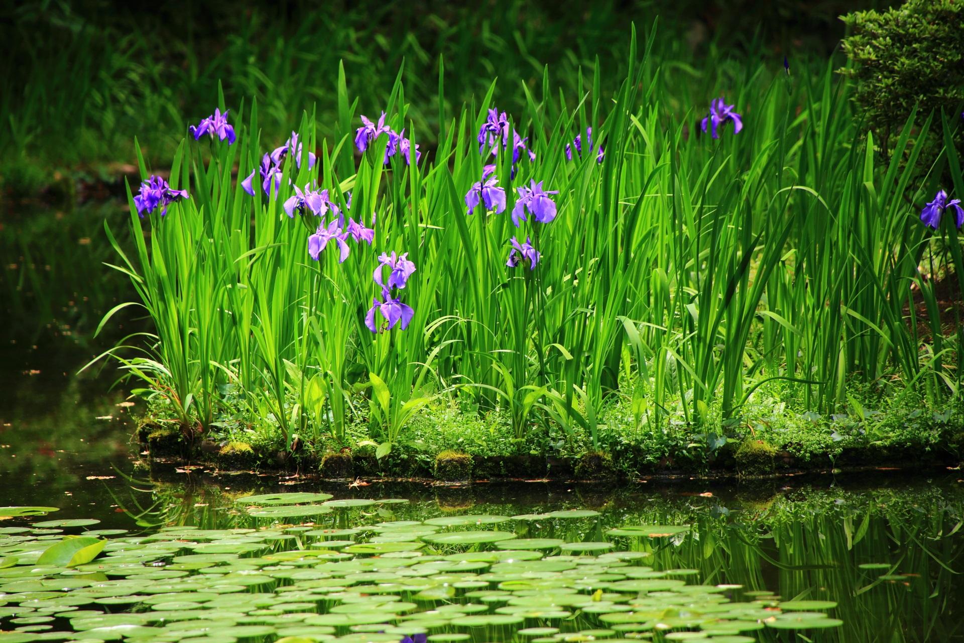 緑溢れる神苑を上品に彩る可愛い杜若