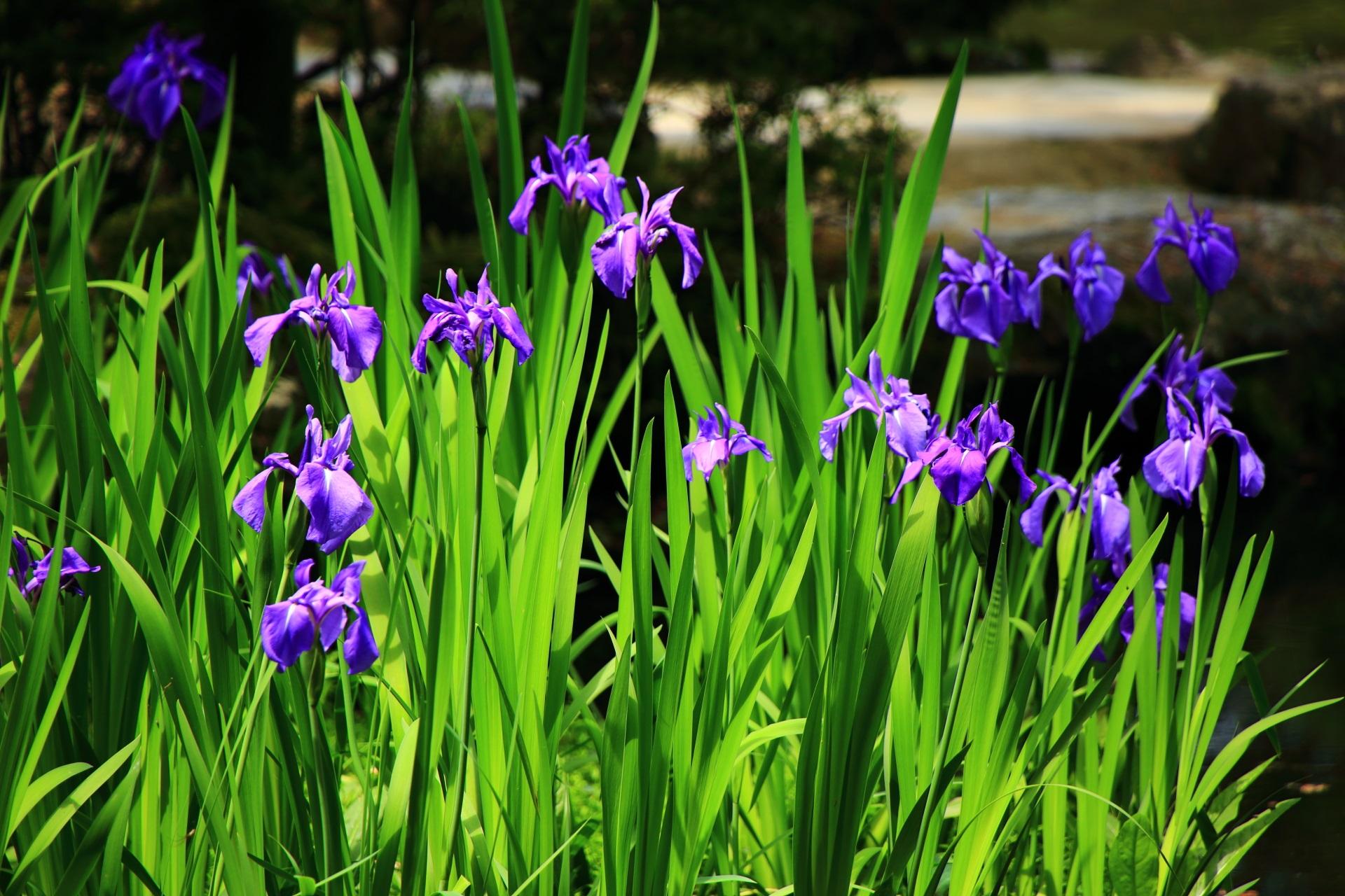 眩い緑と紫にそまる5月の平安神宮の神苑