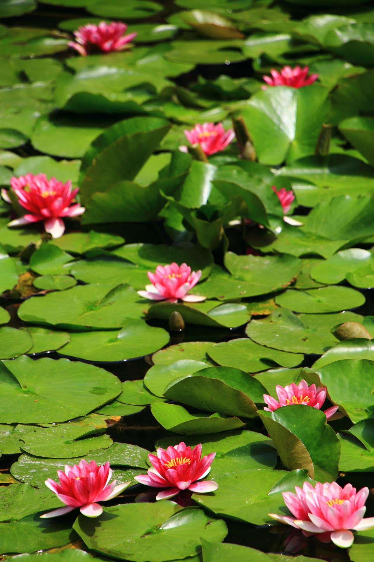 緑とピンクで賑わう春の平安神宮神苑の水面