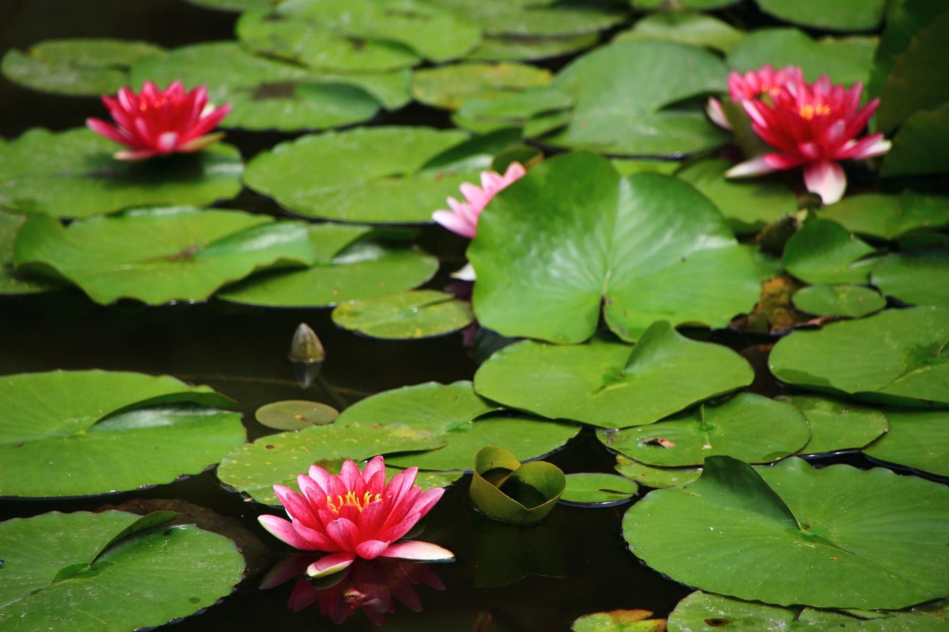 淡い緑の葉の上で咲き誇る鮮やかなピンクの睡蓮