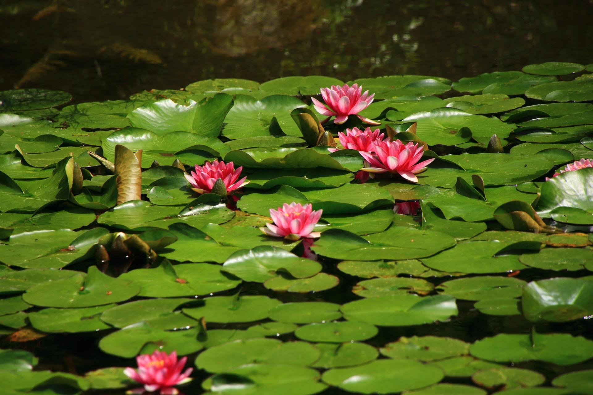 丸い緑の葉があってこそ美しい睡蓮の花
