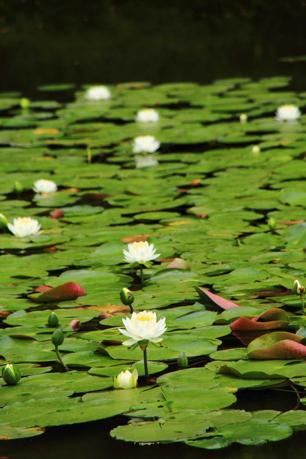 平安神宮の水面から少し高い位置で咲いている睡蓮