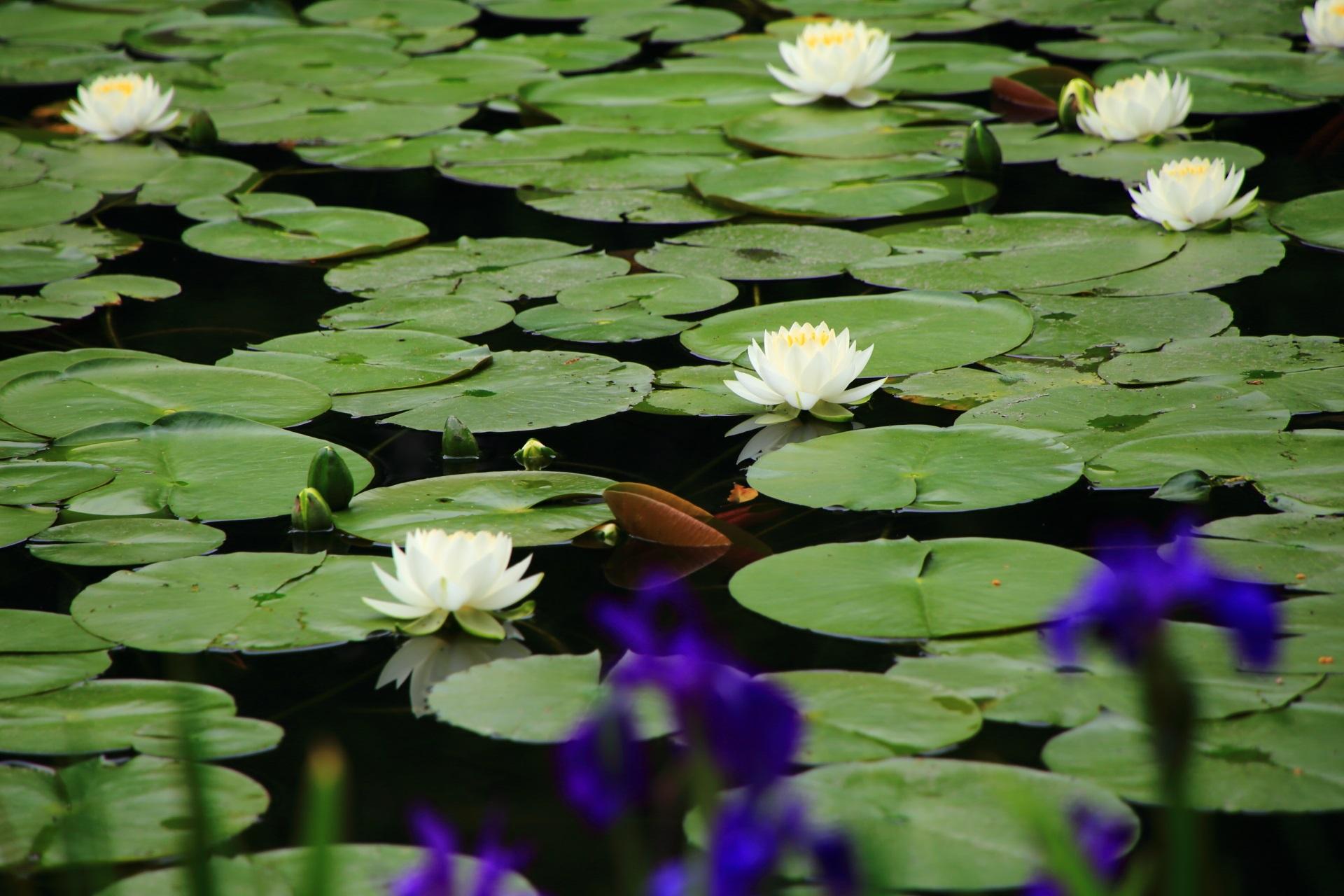 平安神宮の杜若越しに眺めた水面を染める睡蓮の花