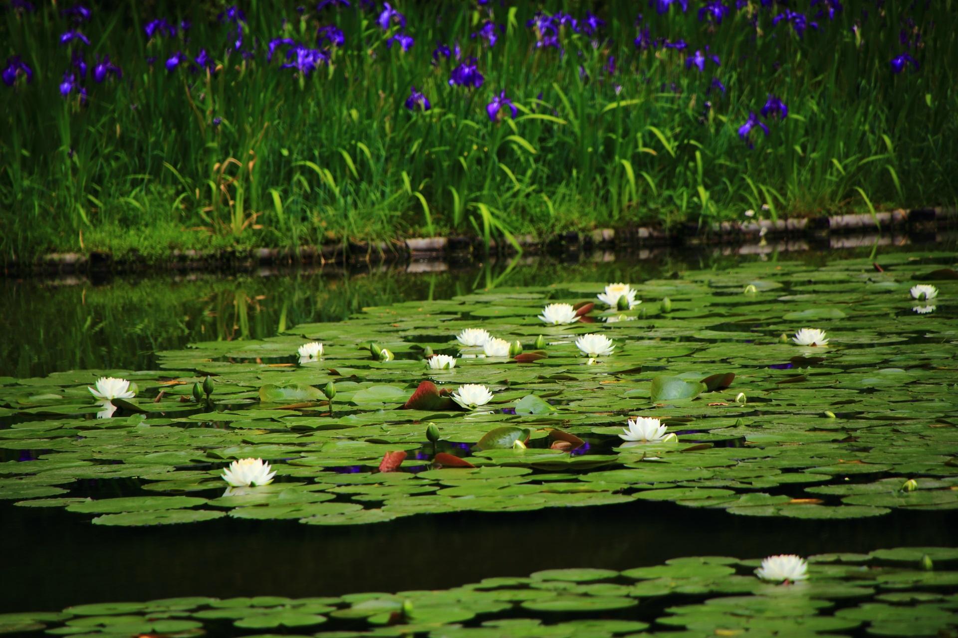 鮮やかな紫の杜若を背景にした華やかなたくさんの白い睡蓮