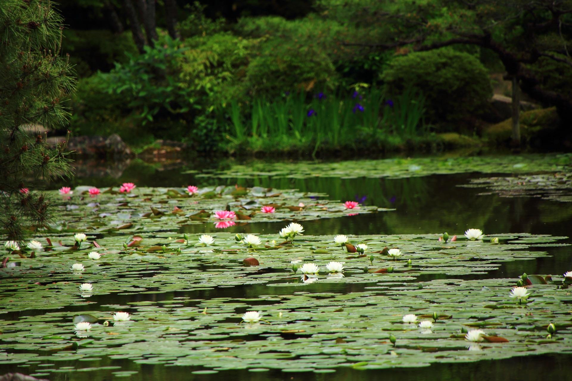 平安神宮の深い緑につつまれる華やかな睡蓮