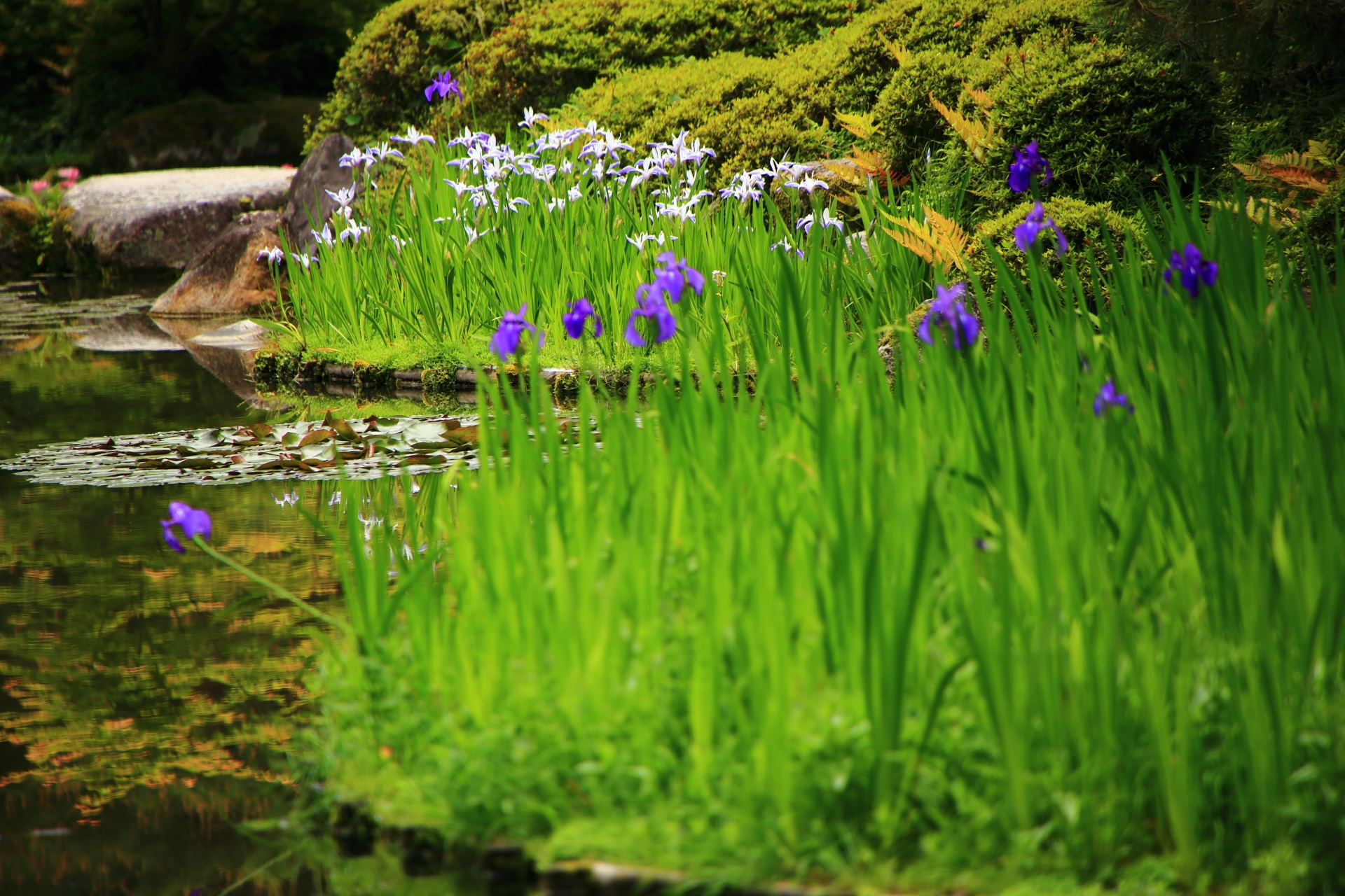 艶やかな紫の杜若の向こうに見える賑やかな折鶴