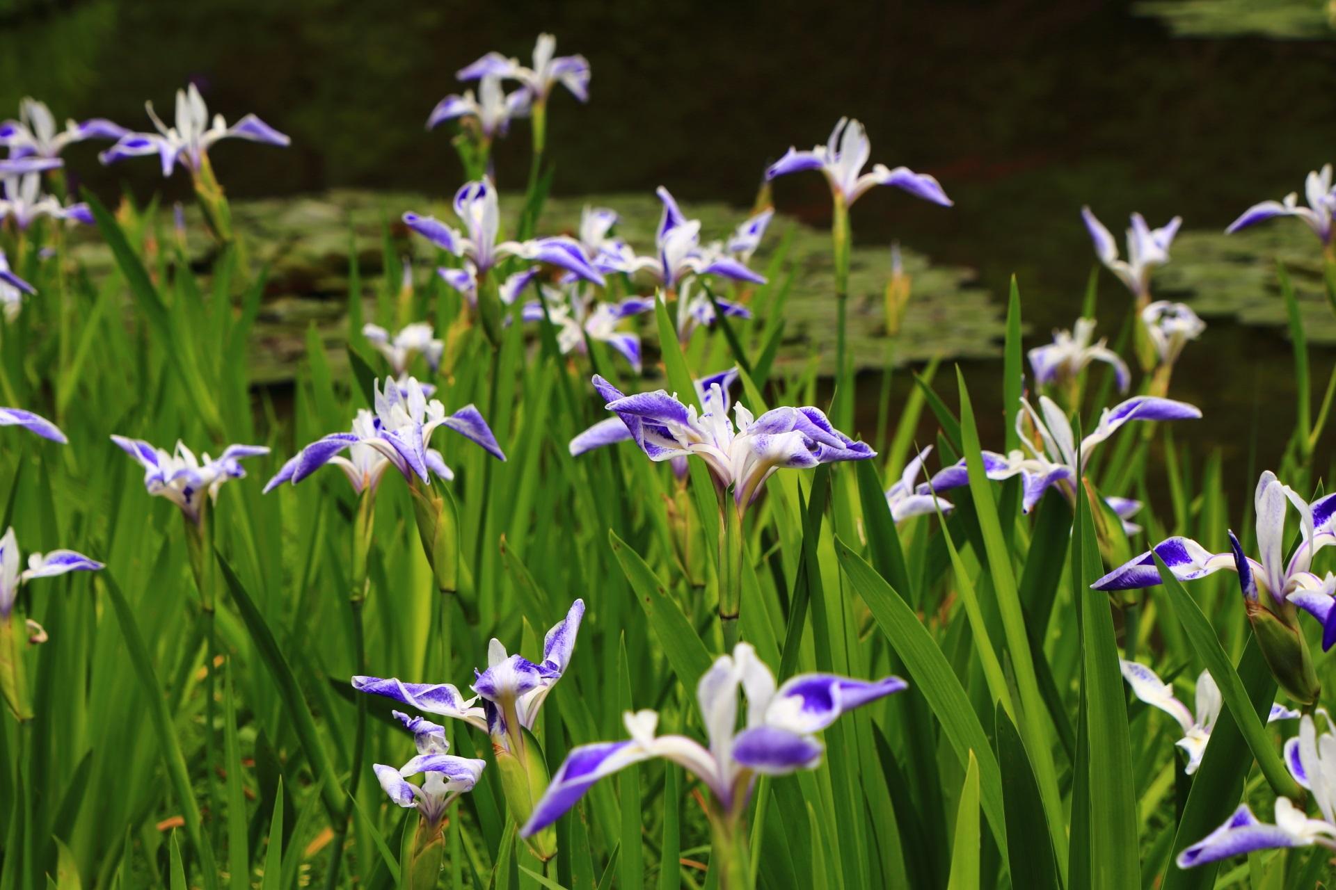 平安神宮の素晴らしい折鶴と杜若と睡蓮と春の情景