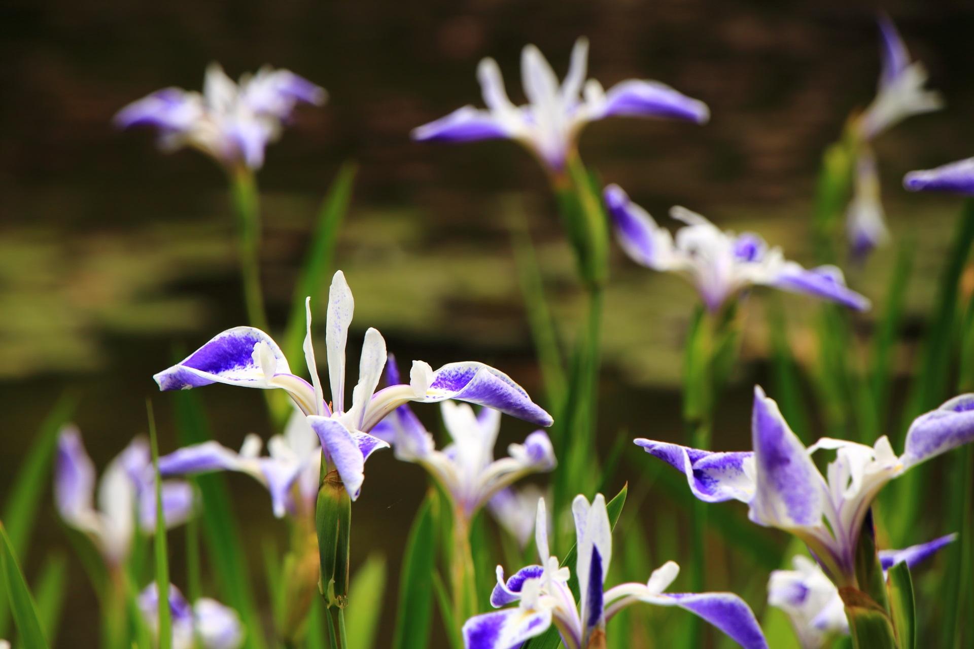 平安神宮の水面から飛び立つような華やかな折鶴