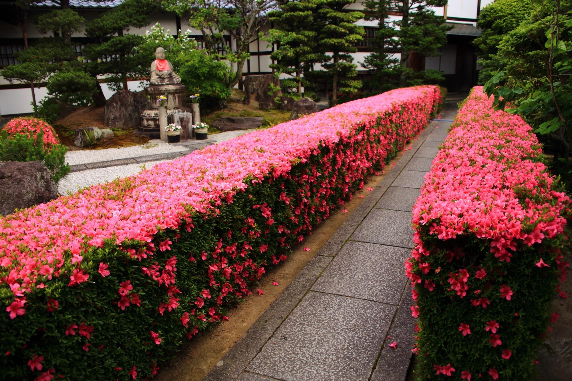 見事にサツキが咲きそろう妙心寺の慈雲院の綺麗に刈り込まれた生垣