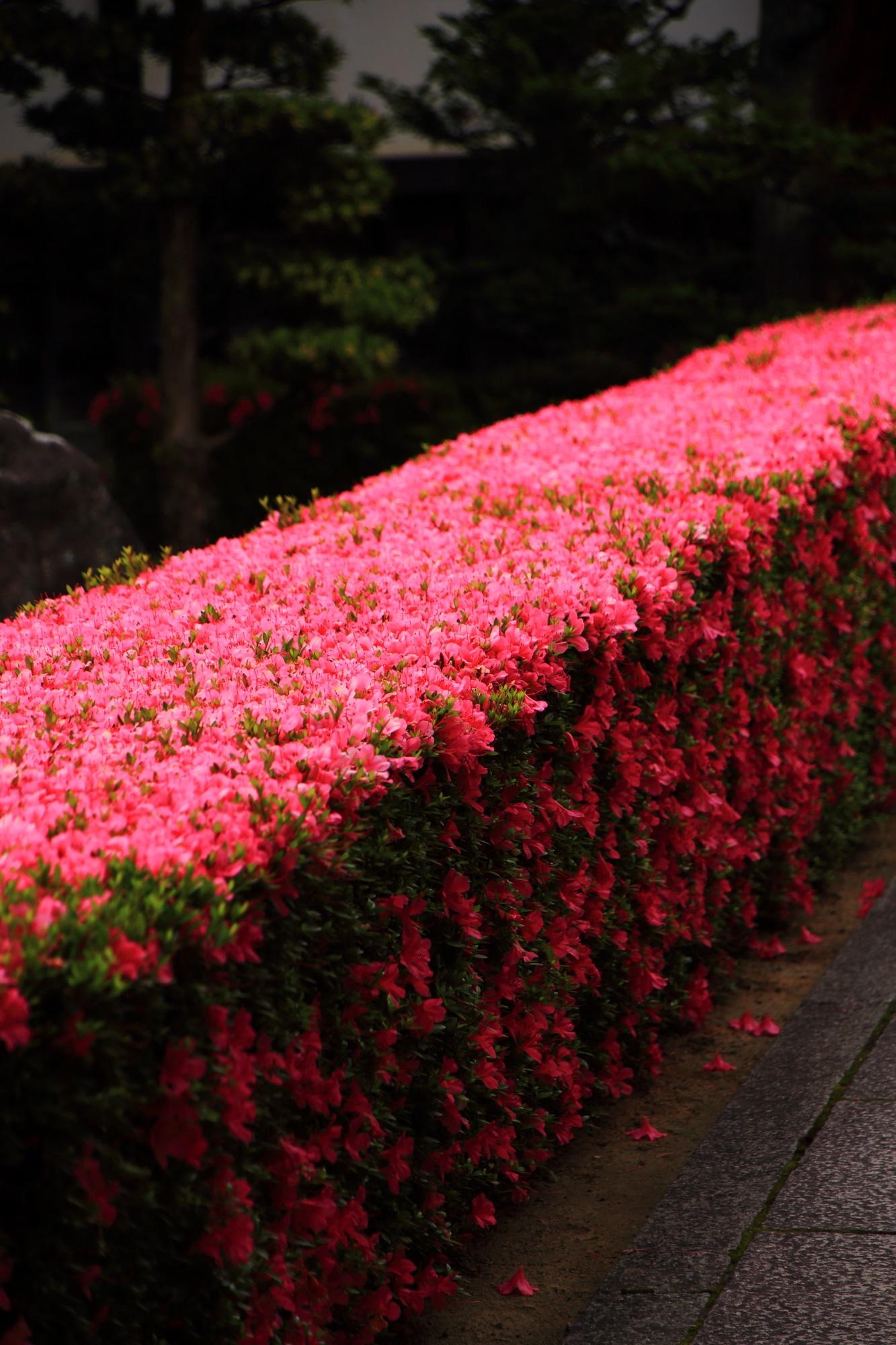 溢れ出す鮮やかなピンクの花と華やかな散った花