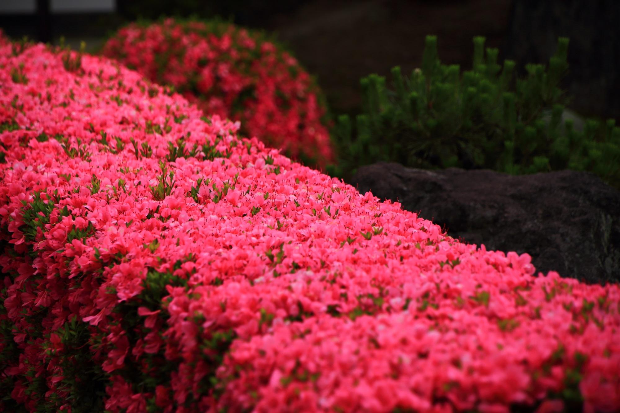 溢れんばかりに咲き乱れるピンクのサツキの花