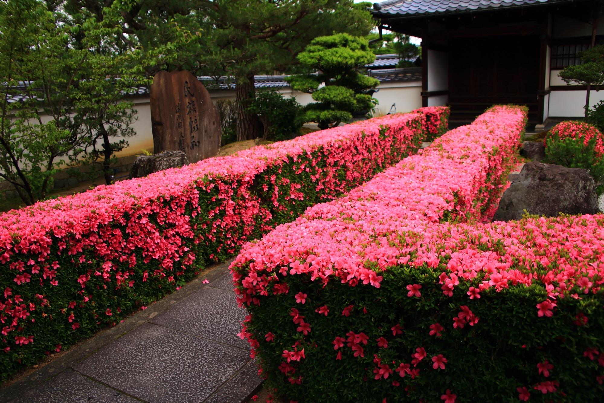 妙心寺塔頭の慈雲院の緑を背景にした一面ピンクのサツキの生垣