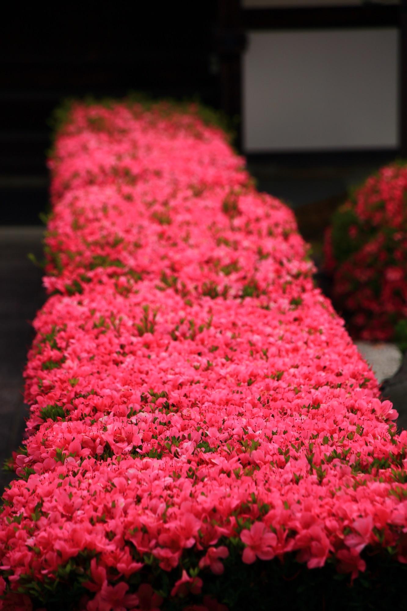 妙心寺慈雲院の天晴れな四角いピンクの生垣