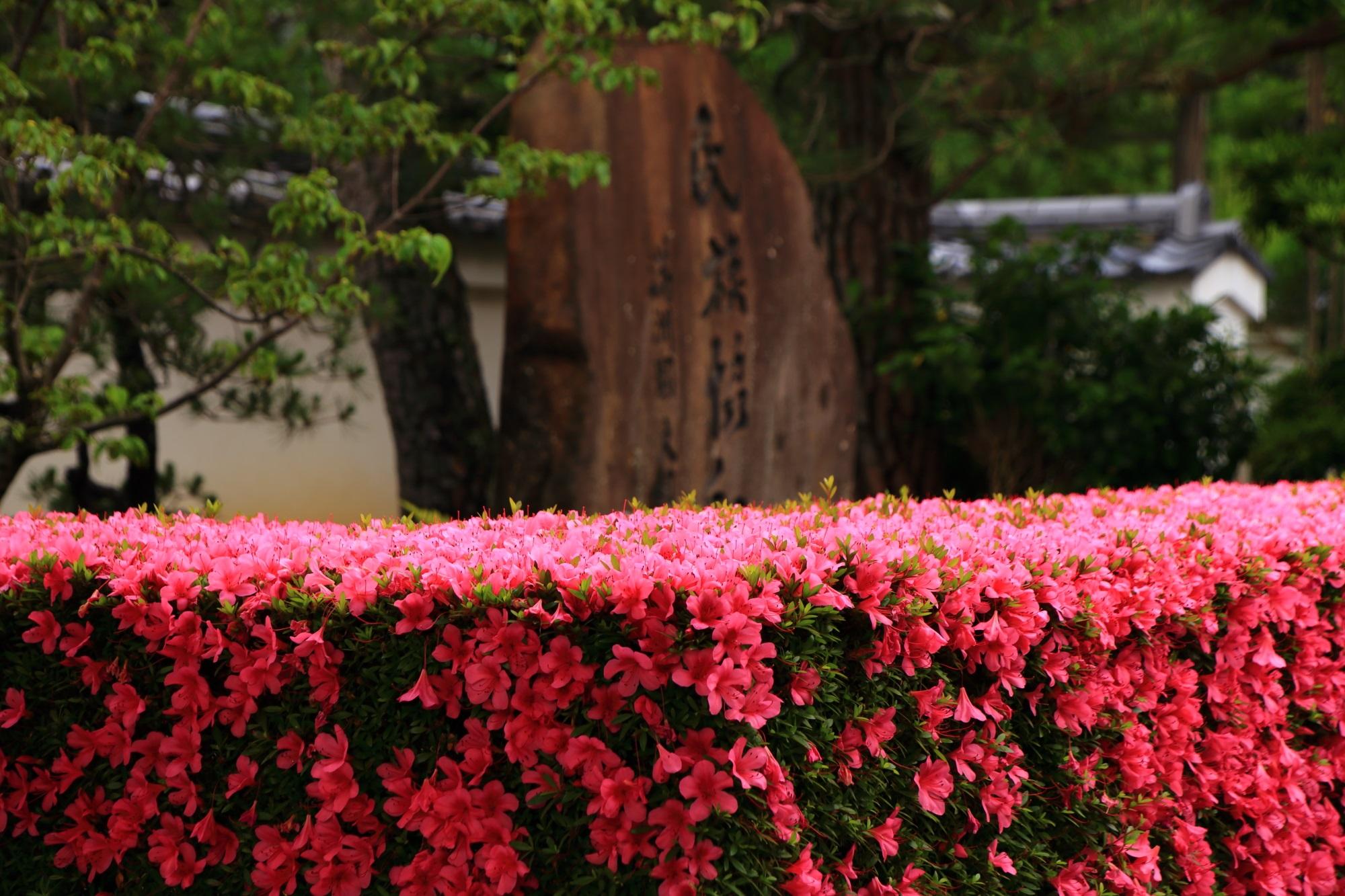 元気いっぱいに咲き誇るピンクのサツキの花