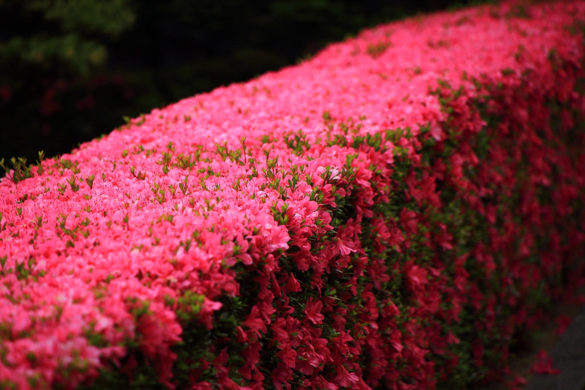 妙心寺塔頭の慈雲院の幻想的な美しい春の彩り