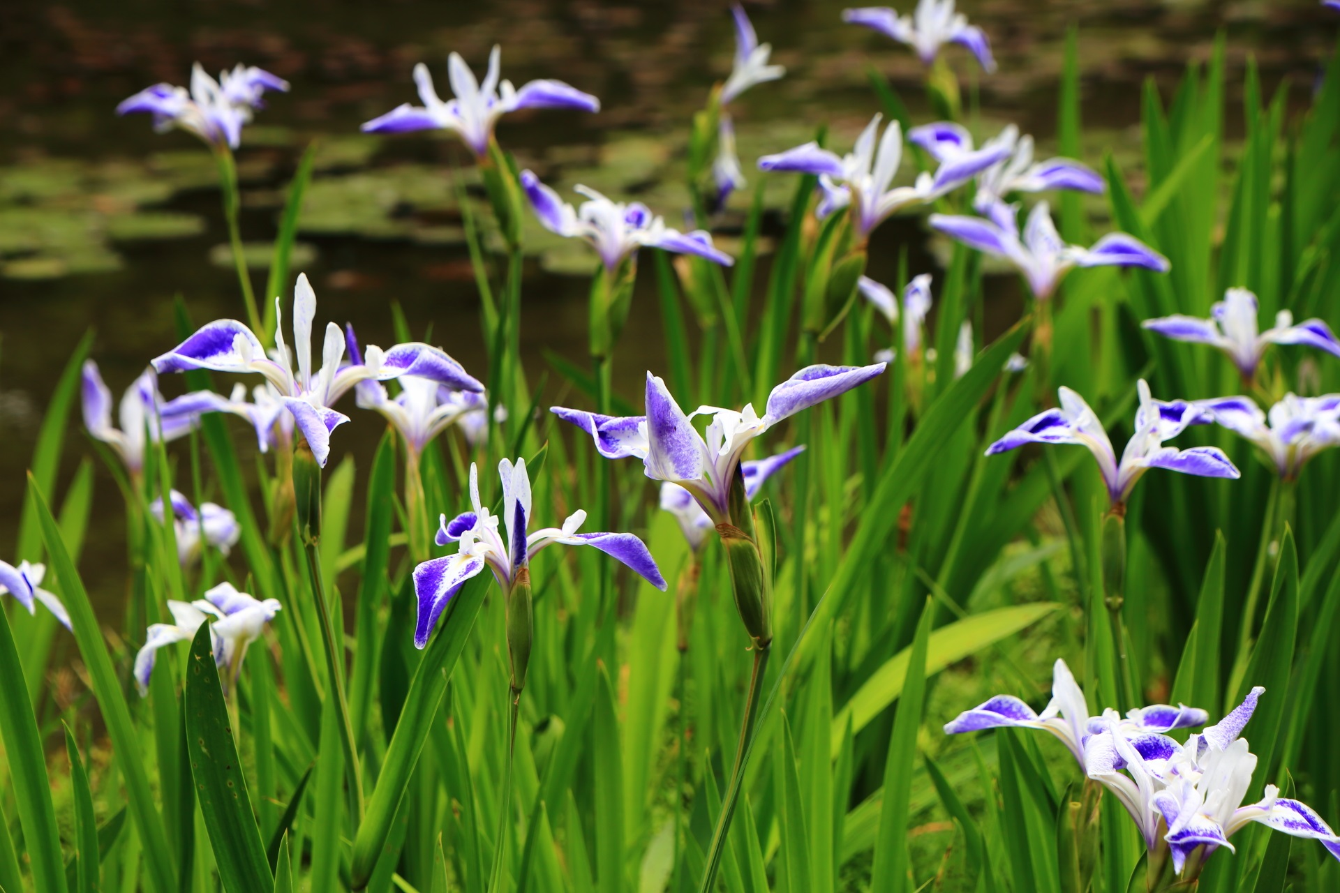平安神宮 折鶴・杜若・睡蓮 楽しく華やかな春の水辺
