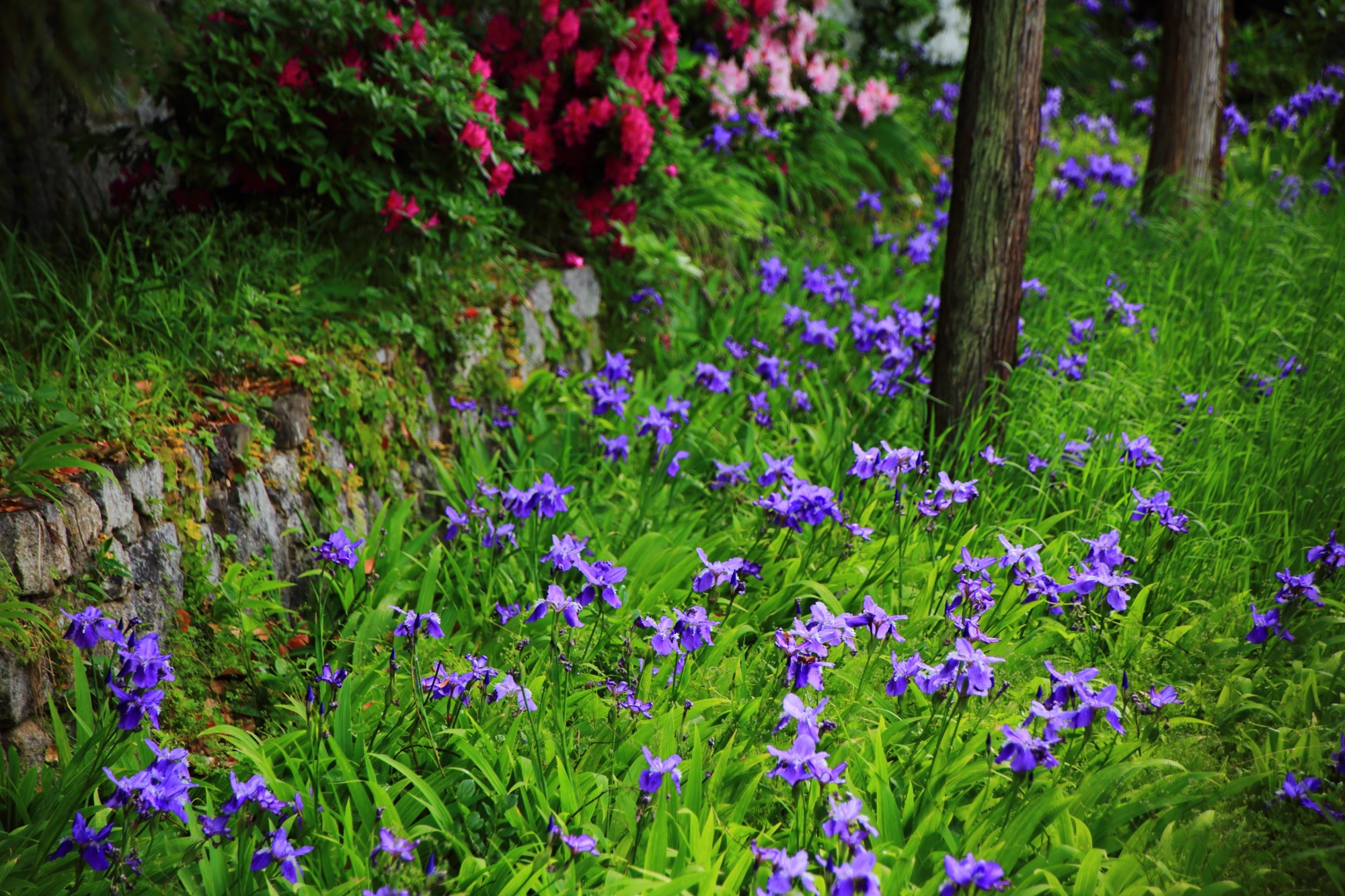 早咲きの紫のアヤメ