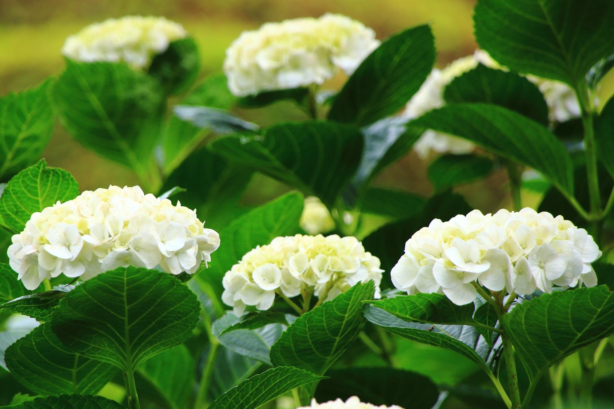 三室戸寺の緑に映える淡く白い紫陽花