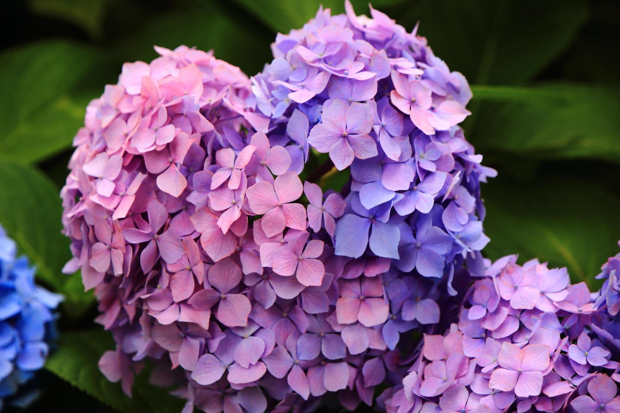 微妙なハート型の2色の紫陽花