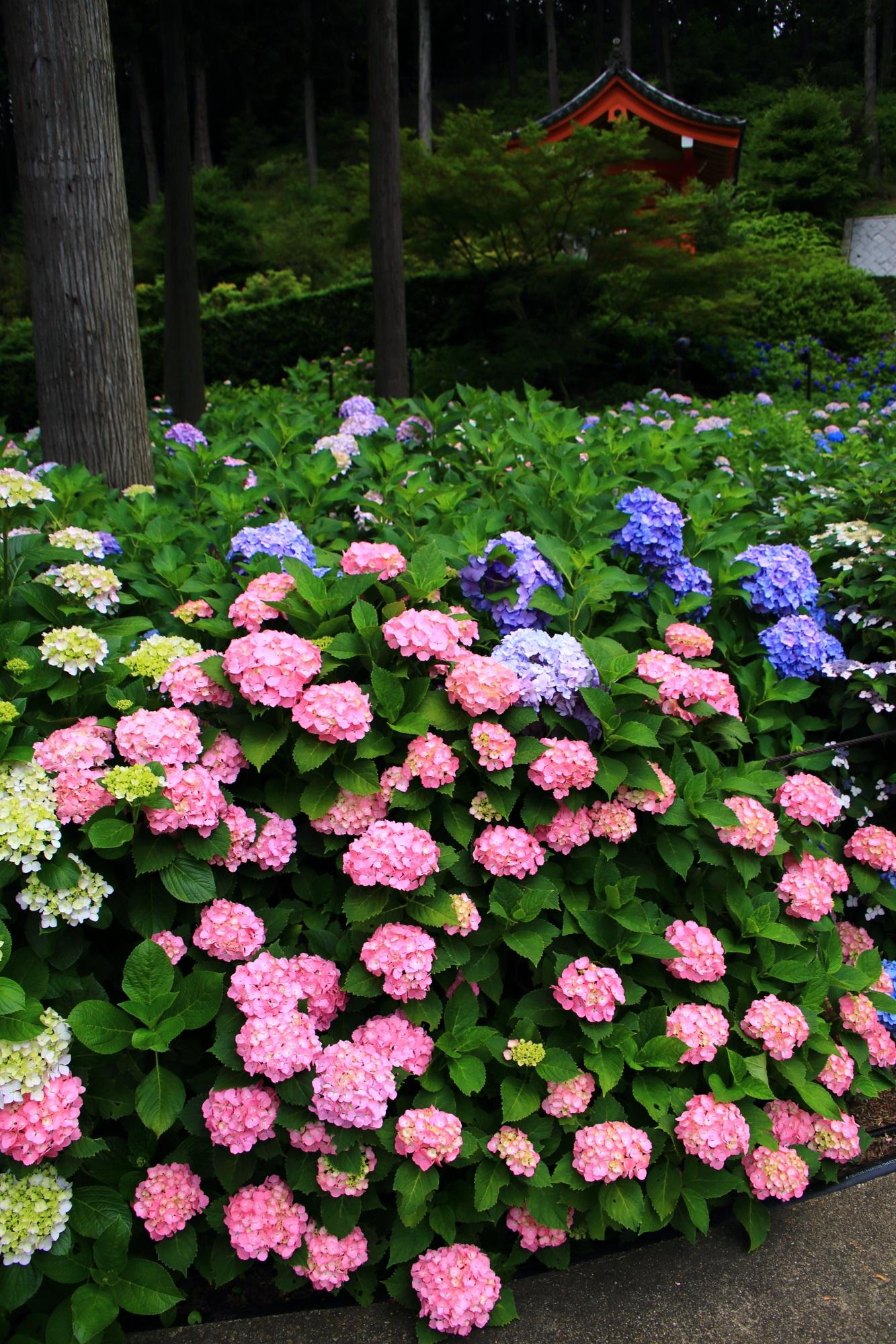 三室戸寺の溢れ出す煌く紫陽花と山門