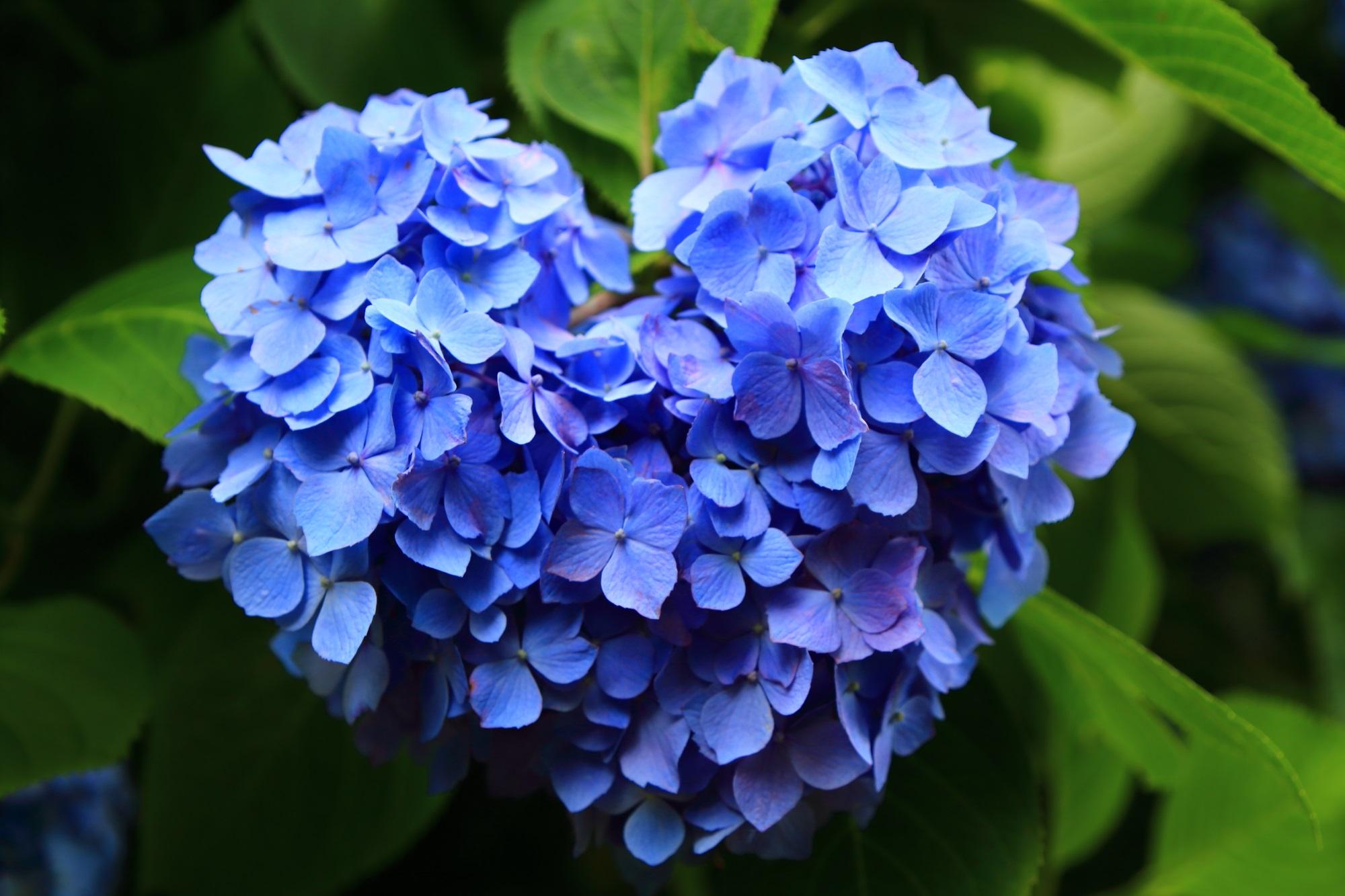 三室戸寺のハート型の青い紫陽花