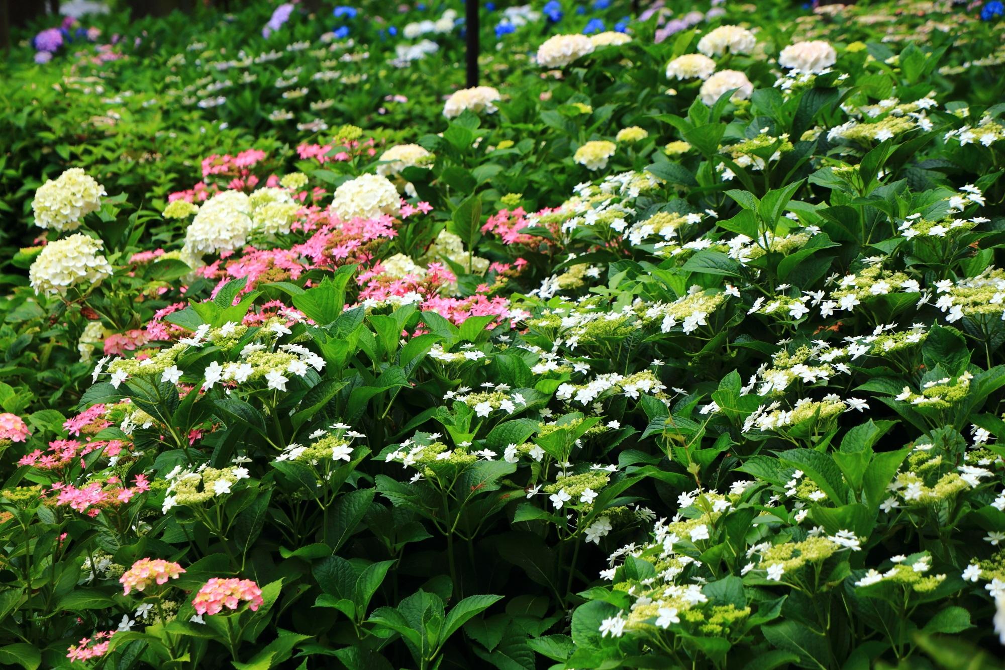 緑の上を揺らめく三室戸寺の華やかな額紫陽花