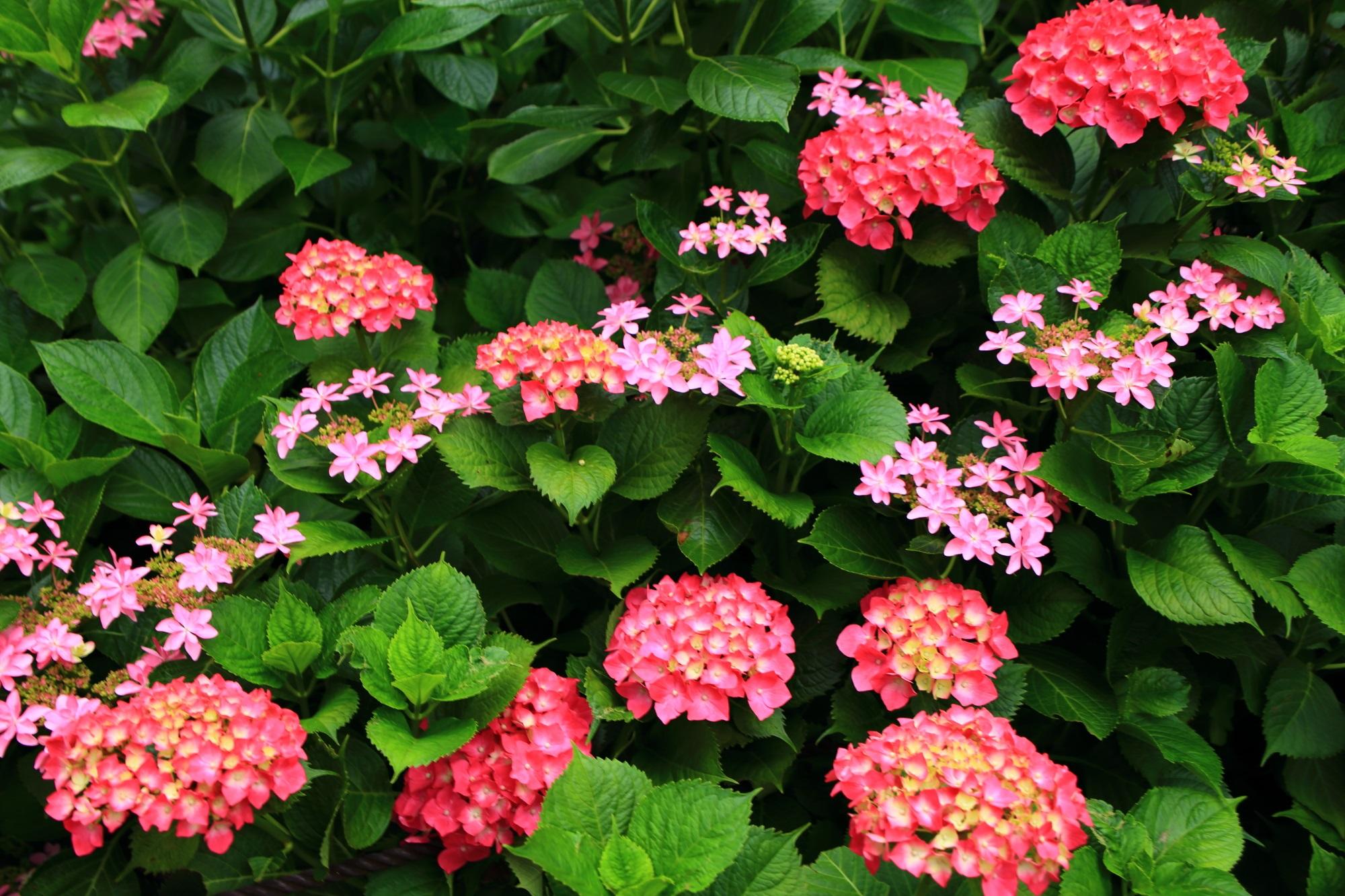いろんな種類の紫陽花が咲く三室戸寺のあじさい園