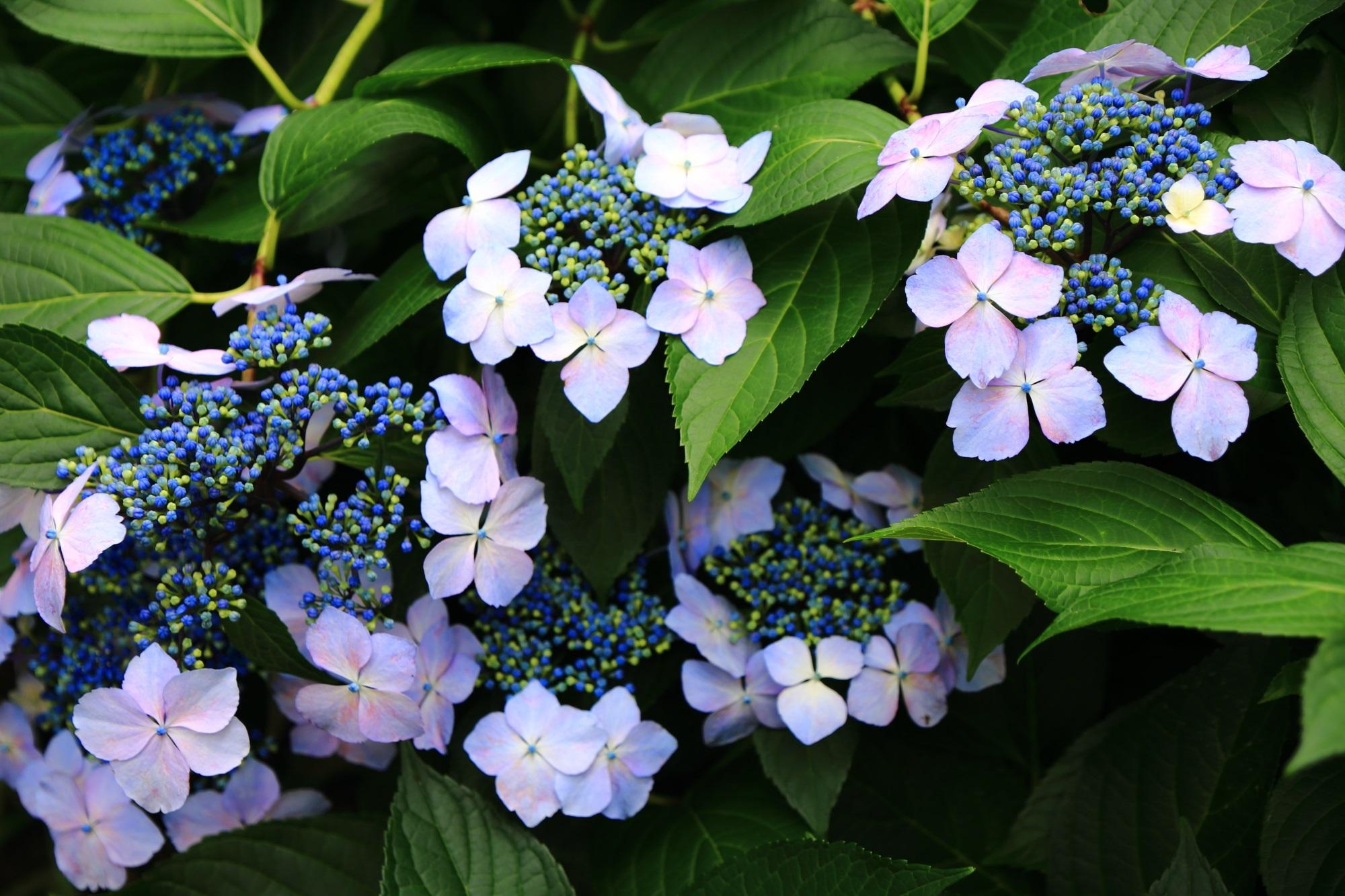 三室戸寺の薄紫の華やかな額紫陽花