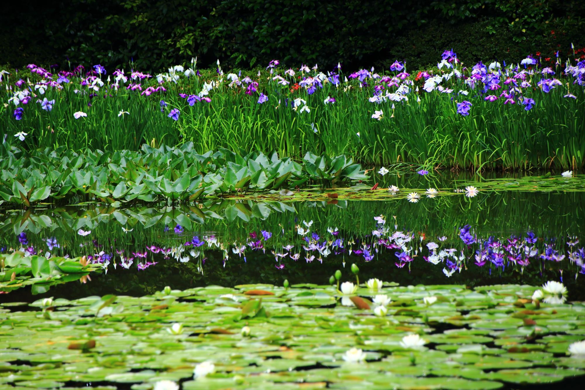 平安神宮の美しい花菖蒲の水鏡