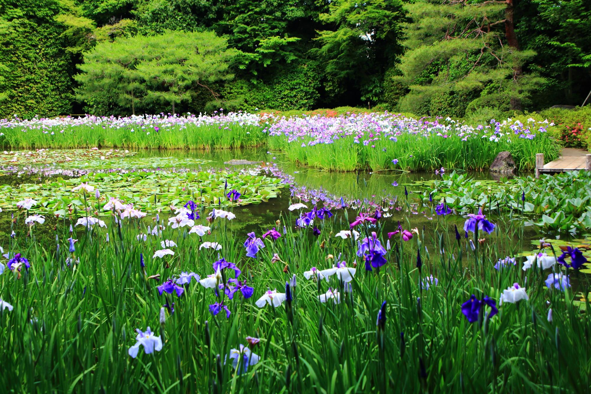 平安神宮の水辺を華やぐ色とりどりの花菖蒲