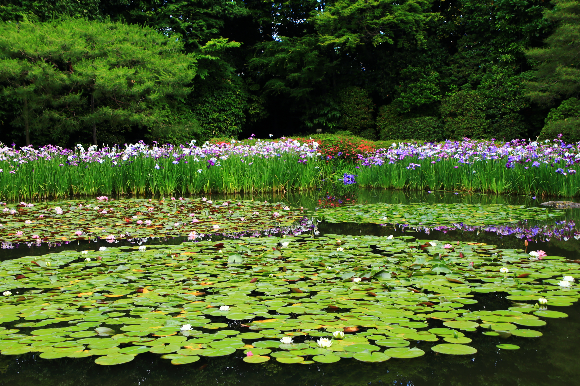 高画質 写真 平安神宮 花菖蒲