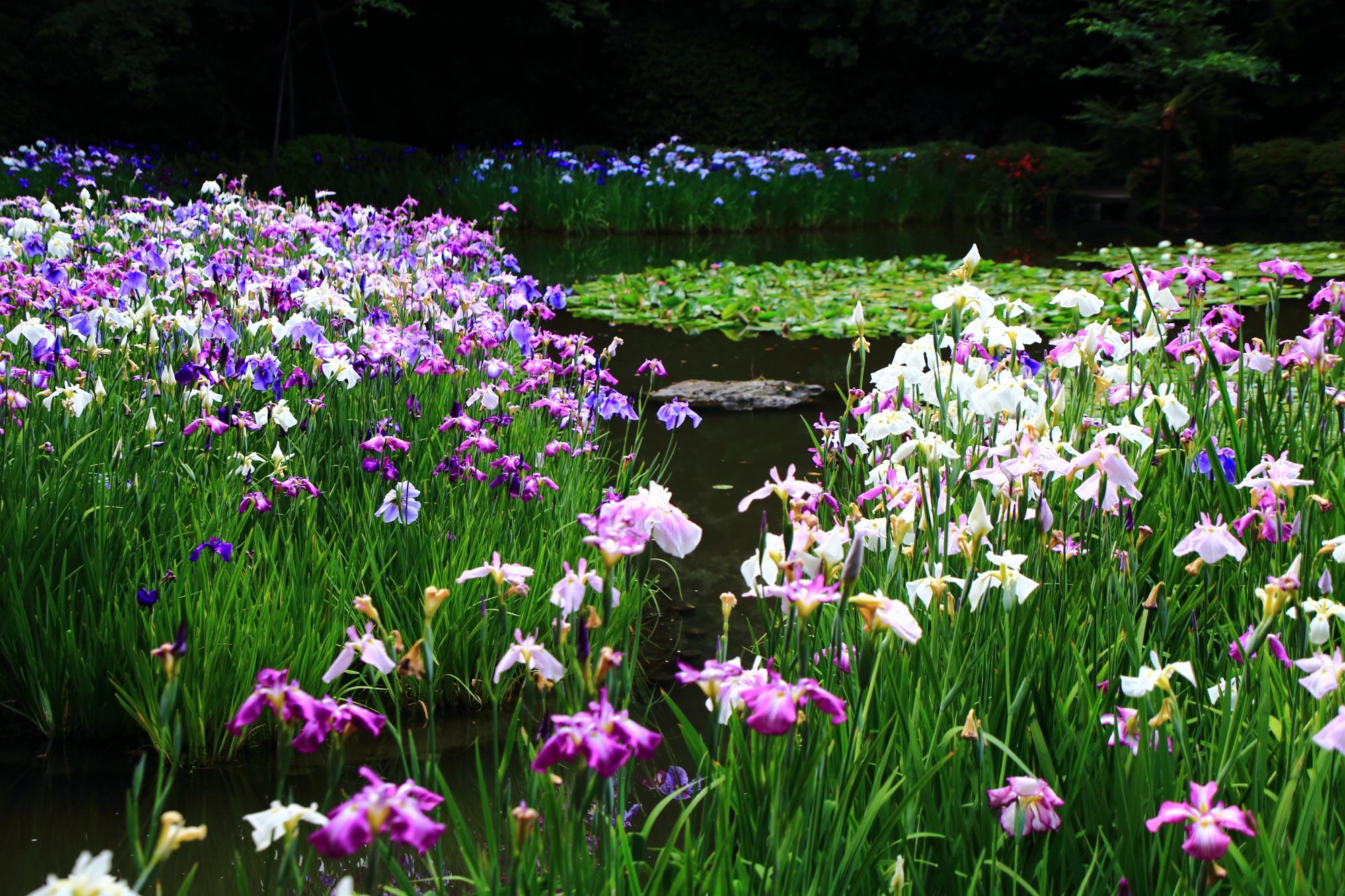 たくさんの花菖蒲で賑わう初夏の平安神宮西神苑