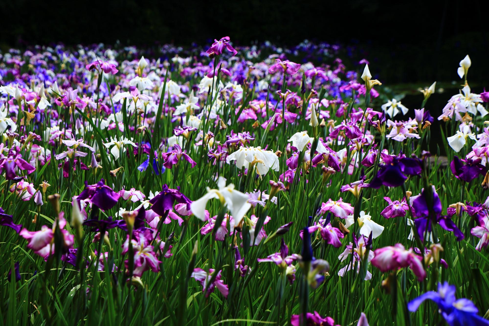平安神宮神苑の水辺を覆う一面の花菖蒲