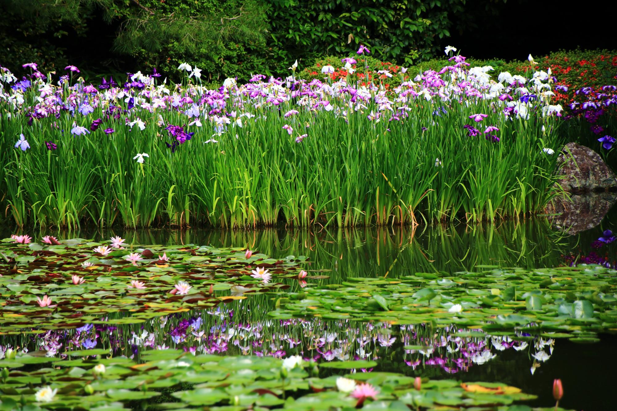 睡蓮の間に映りこむ綺麗な花菖蒲の水鏡