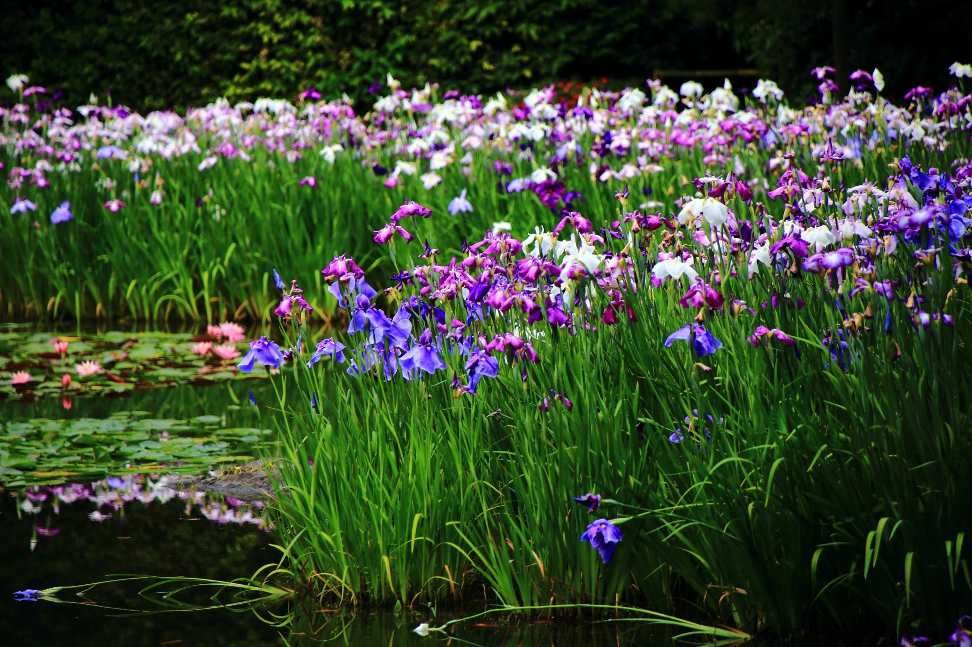 溢れんばかりに咲き誇るたくさんの花菖蒲