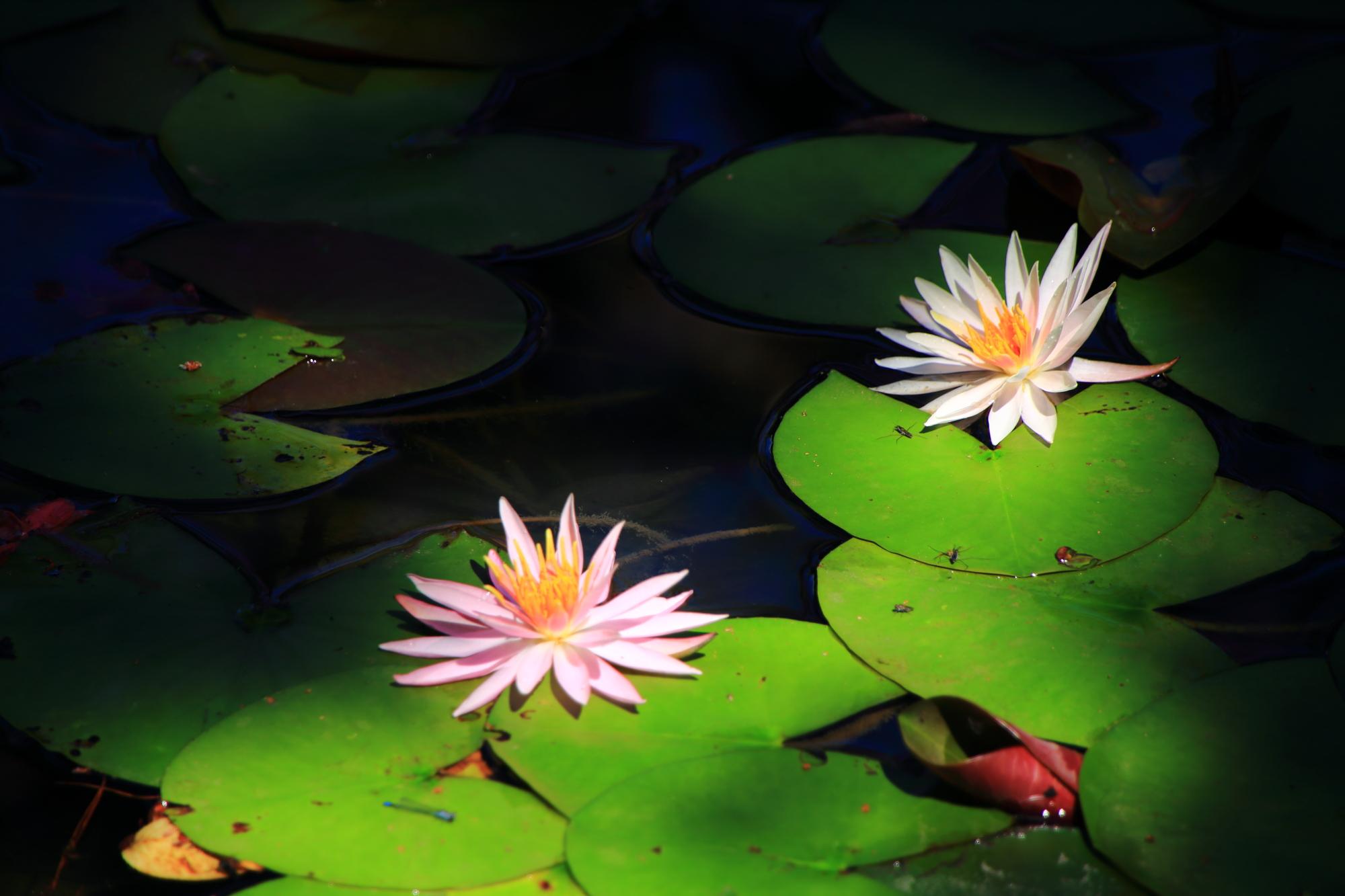 花びらの細い淡い色合いの睡蓮