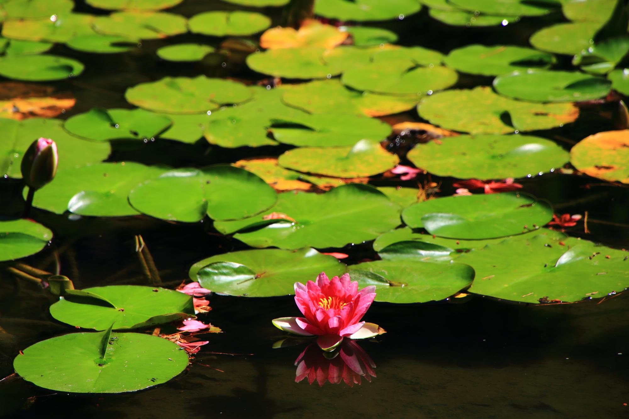 淡い緑の葉に映える鮮やかなピンクの睡蓮