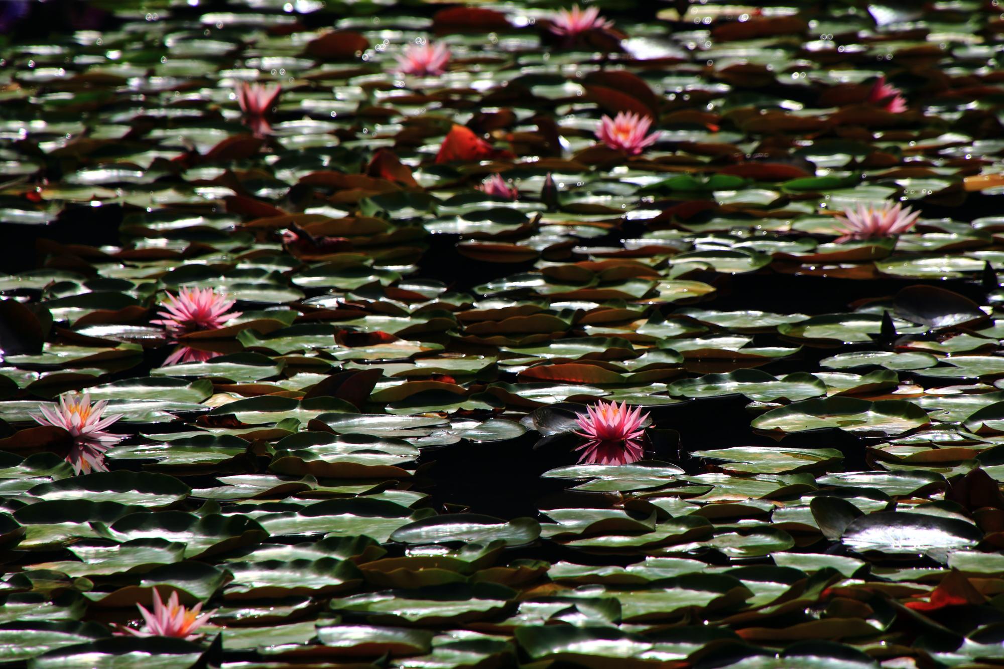 平安神宮の水面で輝くピンクの睡蓮