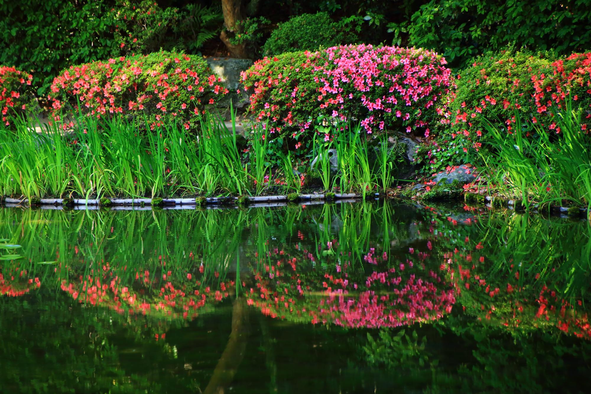 鮮やかな色合いと水鏡が見事な平安神宮のサツキ