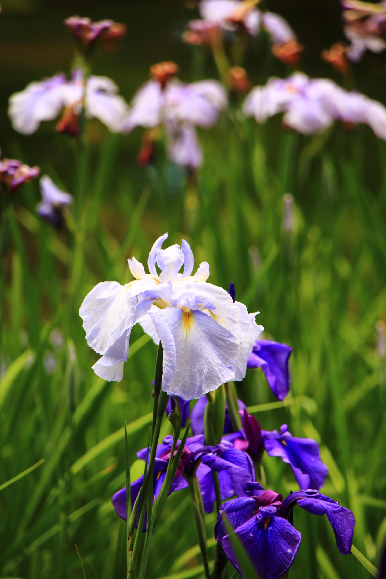 平安神宮の立派に咲き誇る爽やかな花菖蒲