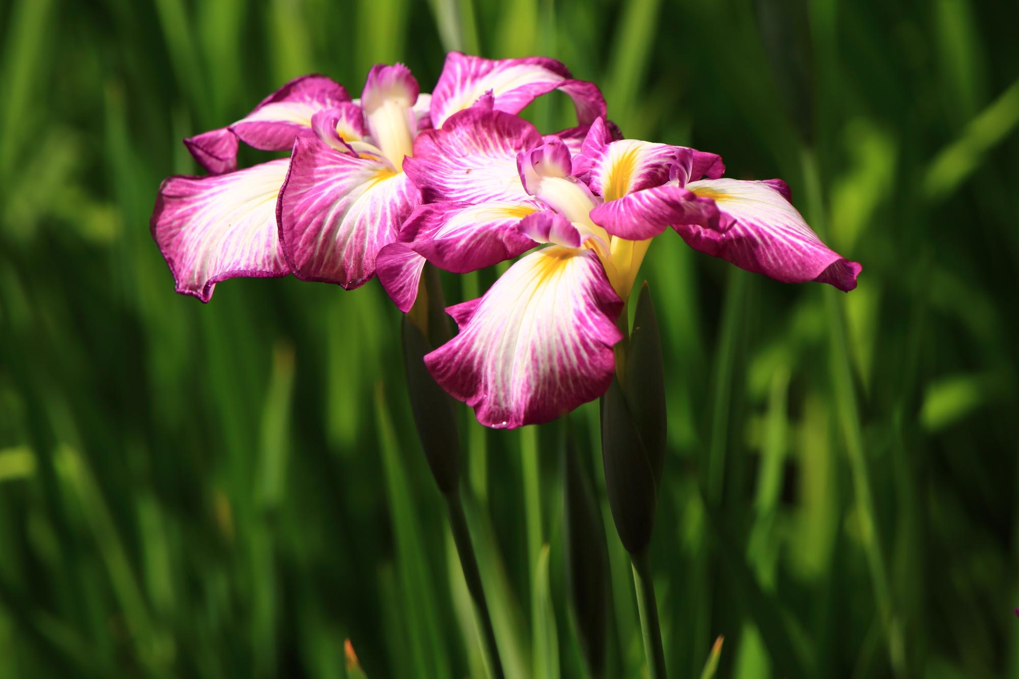 白に紫の淵の入った華やかな花菖蒲