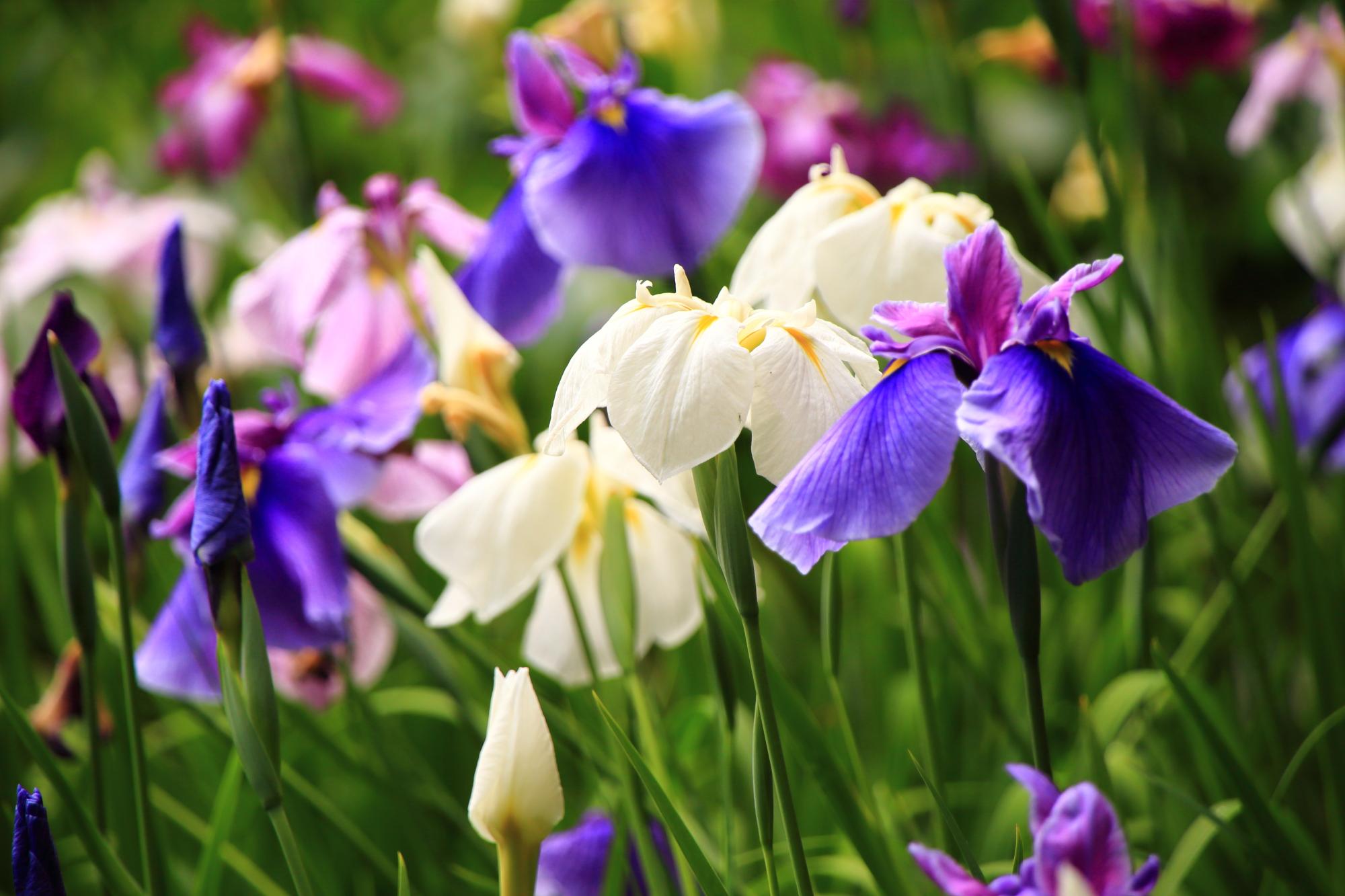元気に咲き誇る多様な花菖蒲
