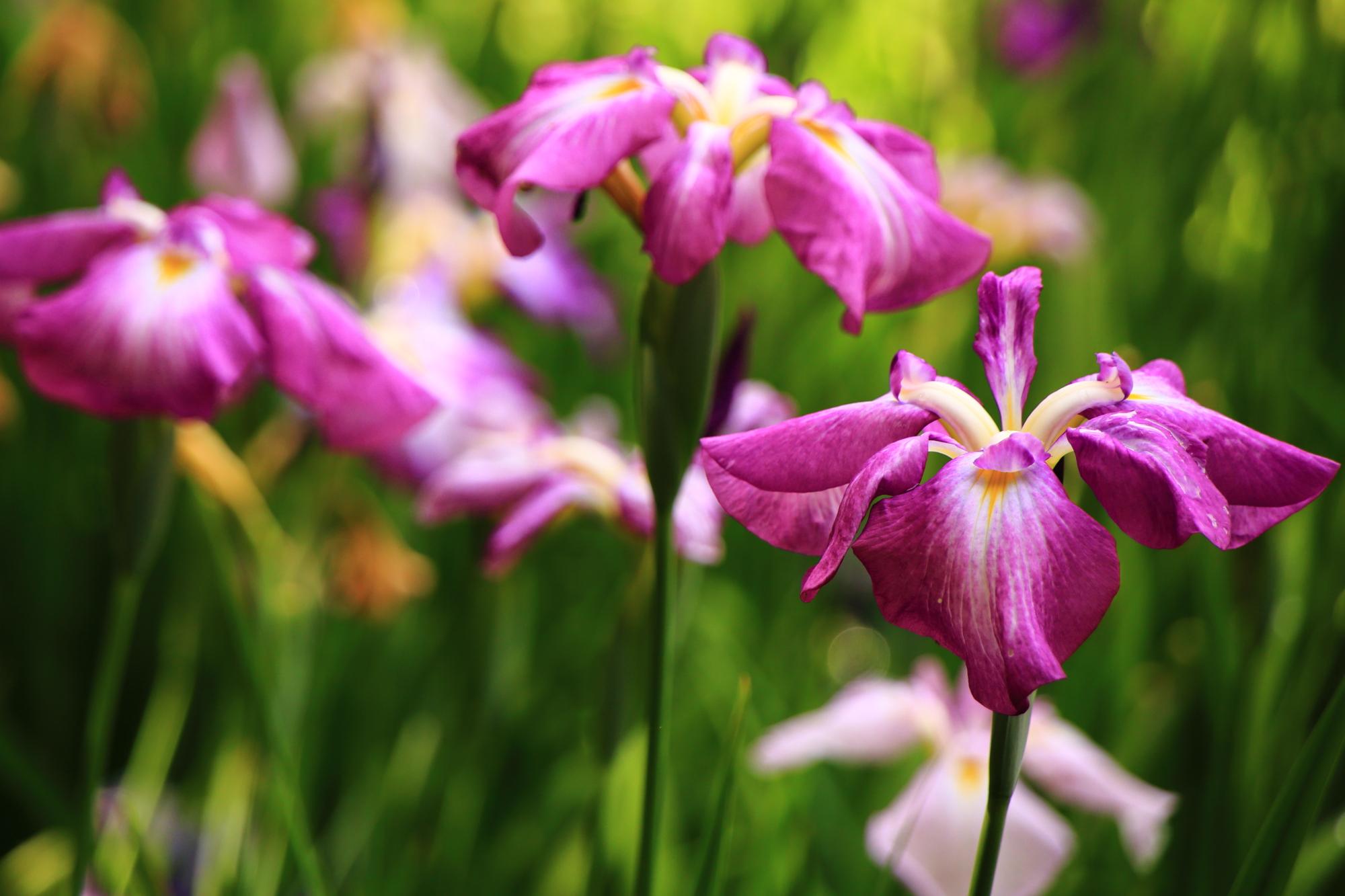 華やかとも鮮やかとも言える色合いの花菖蒲