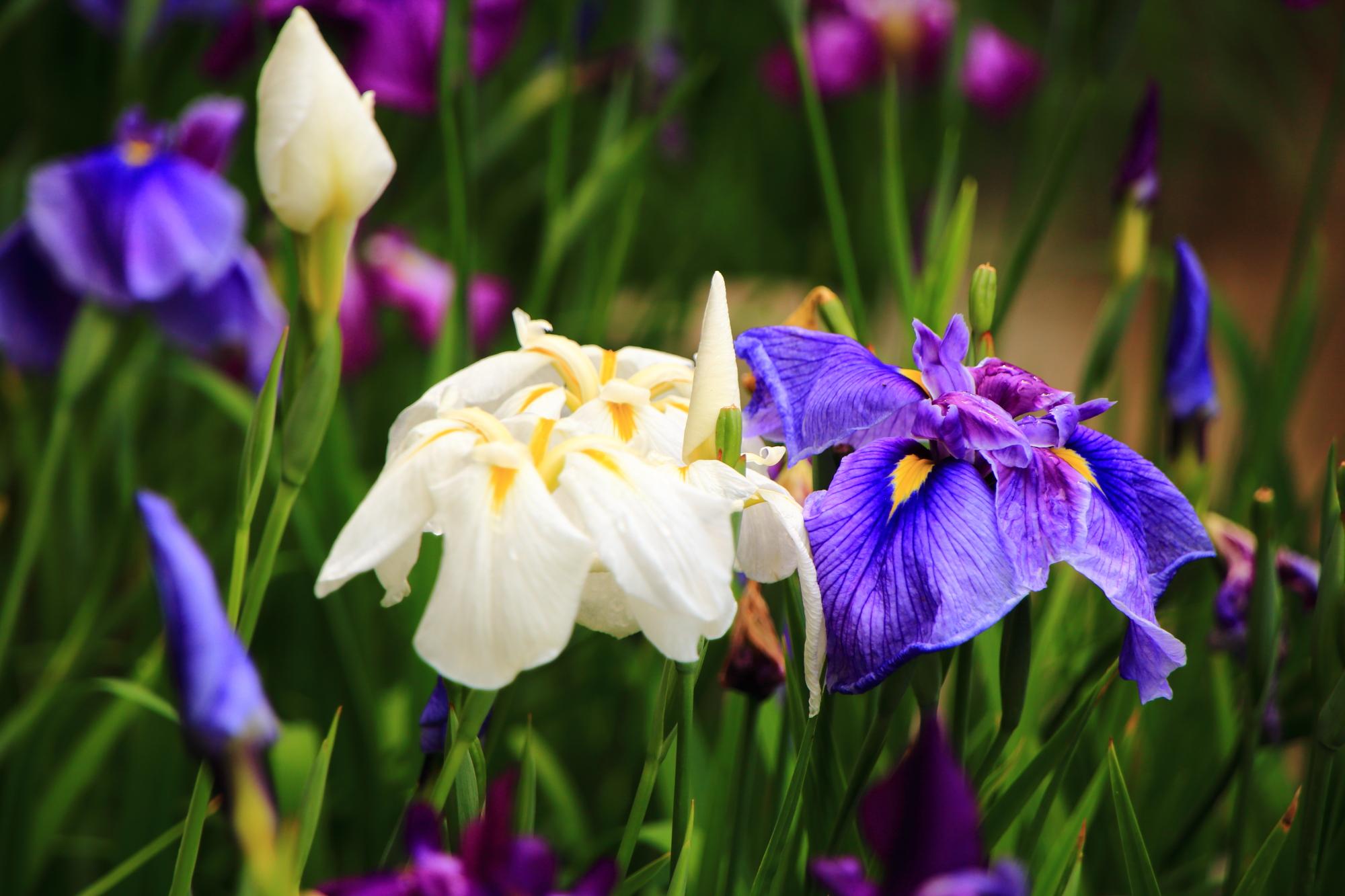 初夏の神苑を彩る色とりどりの花菖蒲
